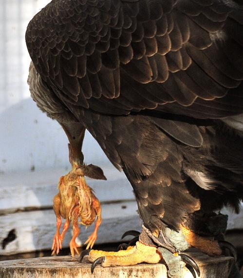 Bald Eagle Eats