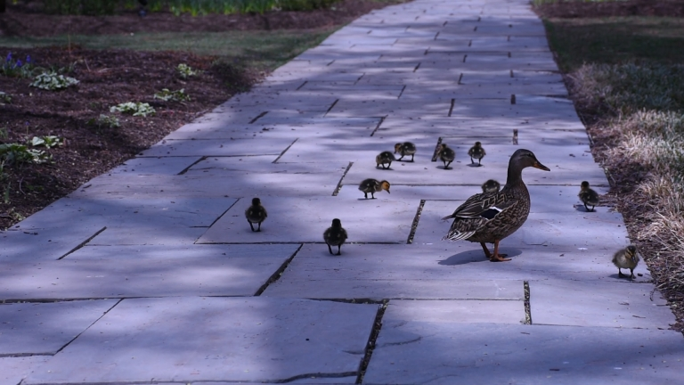 """""""Just the Ducks"""" Silent Sequence 