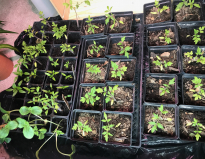 Tomato, spaghetti squash, and lavender plants on April 29, 2020. All grown from seeds, these plants are almost ready to go outside after about 6 weeks indoors.